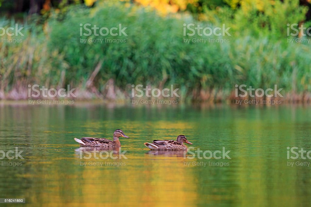 Two ducks on the lake stock photo