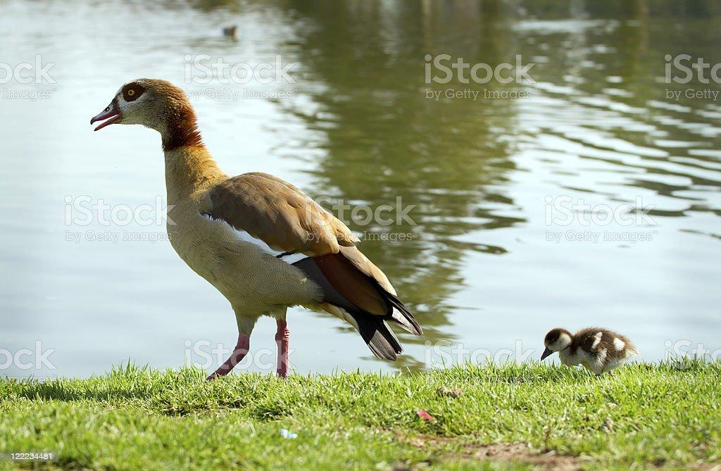 Two ducks royalty-free stock photo