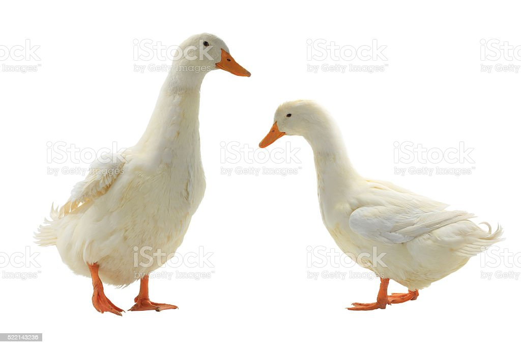 Two ducks stock photo