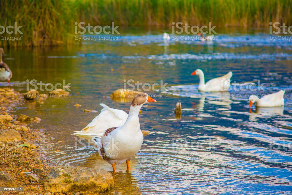 Two ducks swimming River stock photo