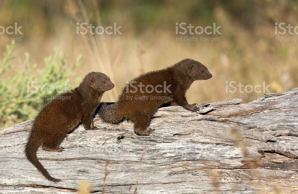 Two Dwarf Mongoose - Botswana stock photo