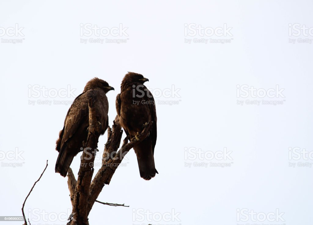 Two eagles on Perch 2 stock photo