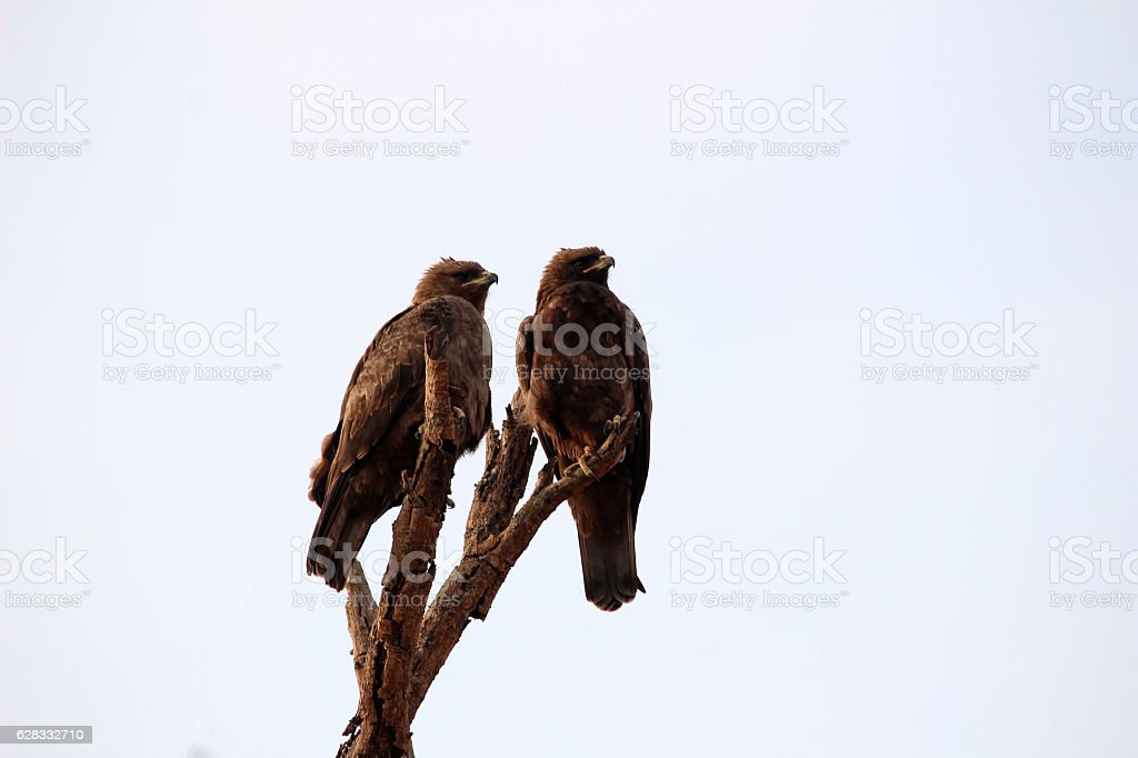 Two eagles on Perch stock photo