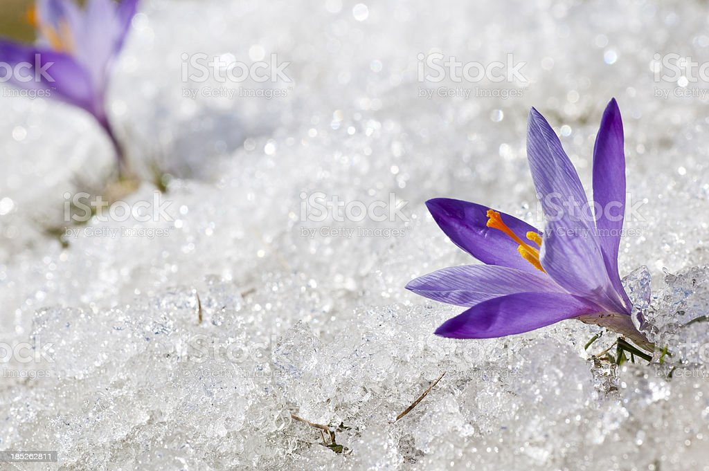 Two Early Spring Crocuses in Thawing Snow and Ice royalty-free stock photo