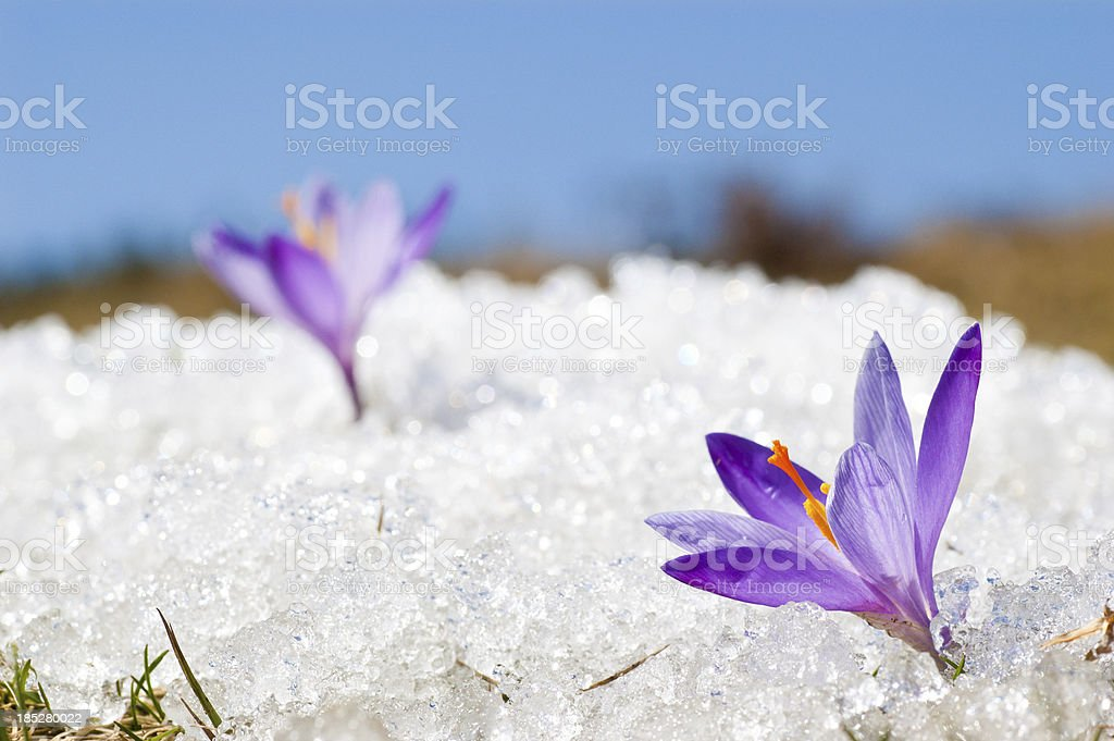 Two Early Spring Crocuses in Thawing Snow and Ice stock photo