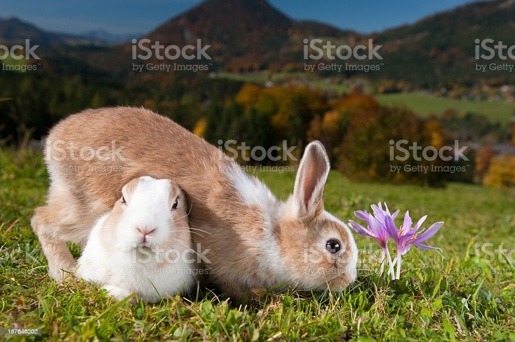Two Easter Bunnies and a Crocus royalty-free stock photo
