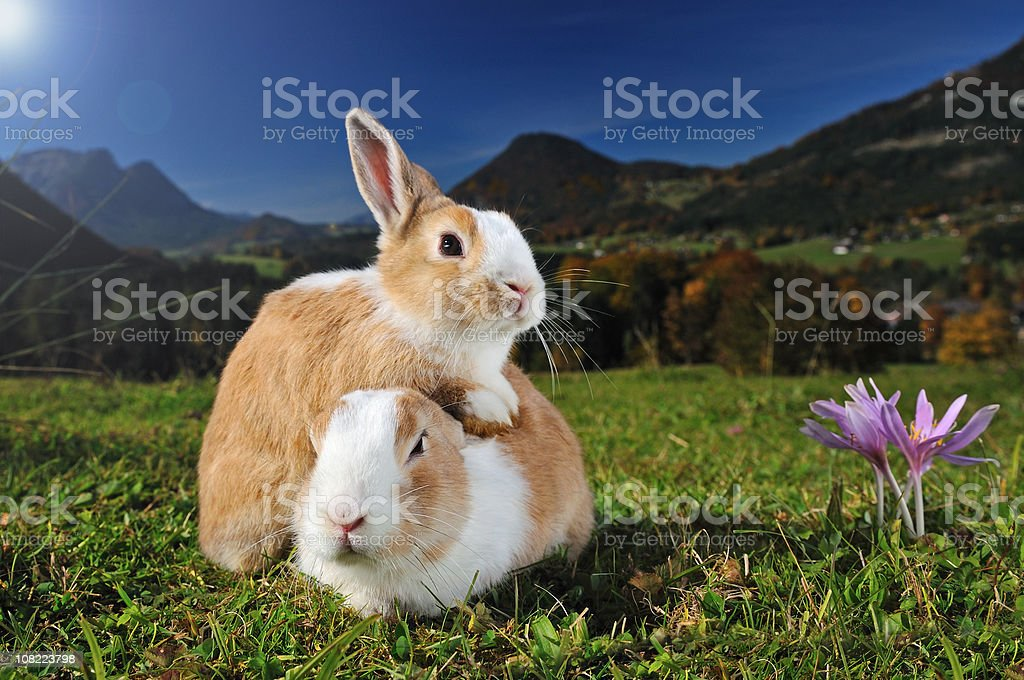 Two Easter Bunnies Snuggeling royalty-free stock photo