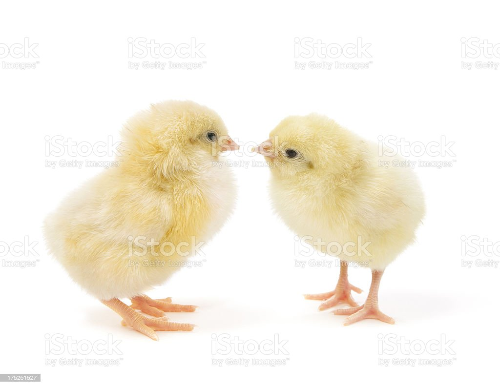 Two Easter chicks isolated on white royalty-free stock photo