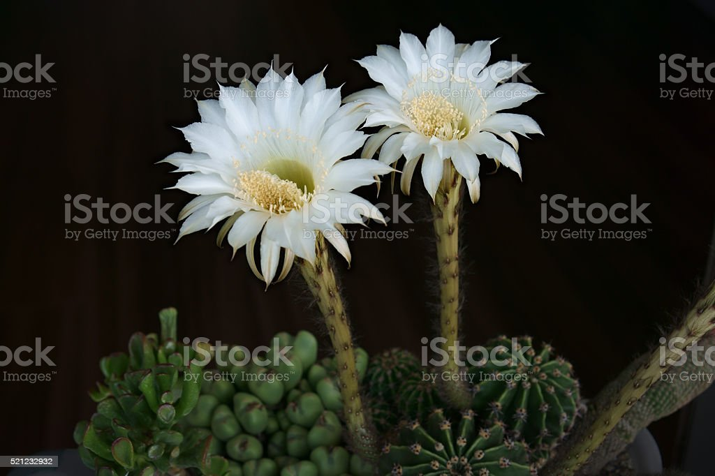 Two Easter lily cactus  flowers in a summer morning stock photo
