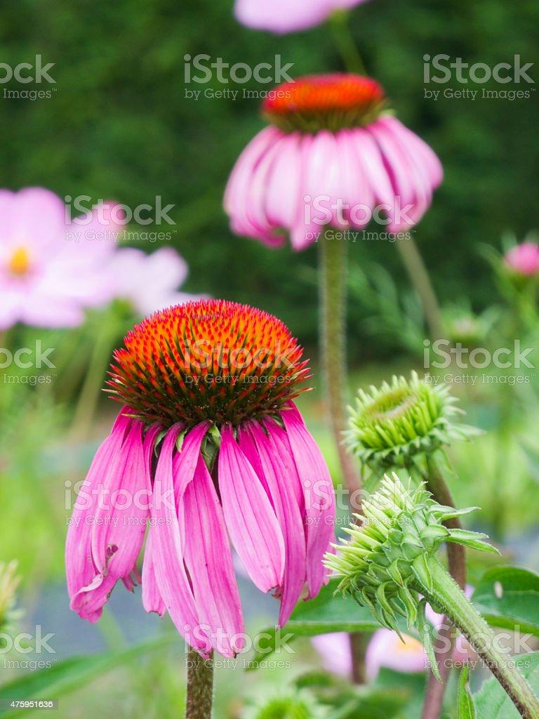 two Echinacea purpurea stock photo