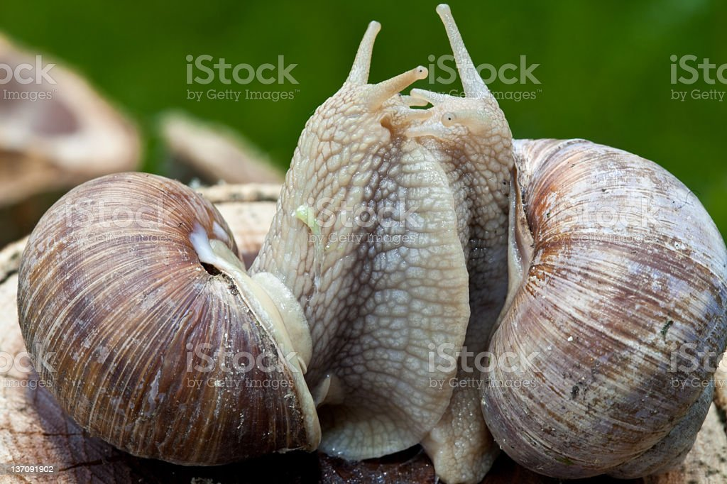 Two edible snails royalty-free stock photo