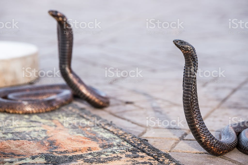 Two Egyptian cobras charmed at Jemaa el-Fnaa square, Marrakesh (Morocco) stock photo