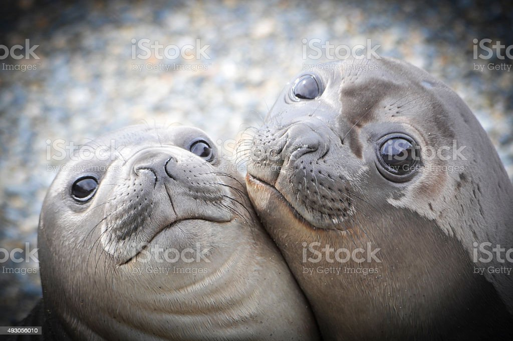 Two Elephant Seals stock photo