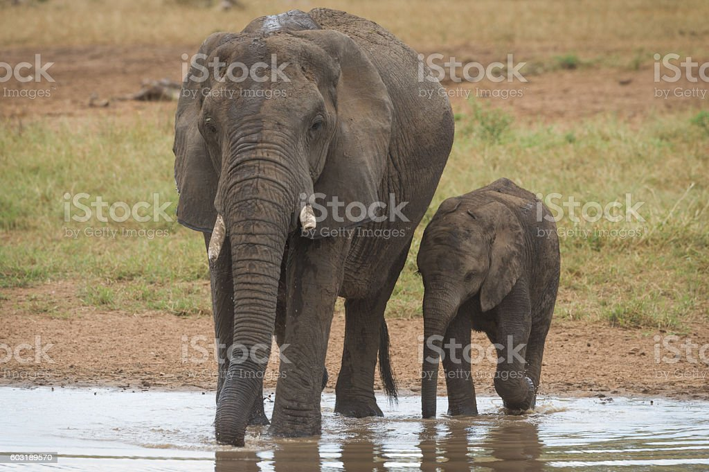 Two elephants drinking water stock photo