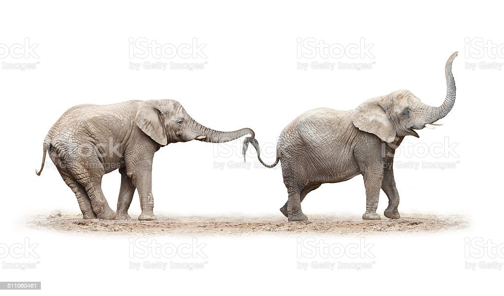 Two elephants have a fun. stock photo