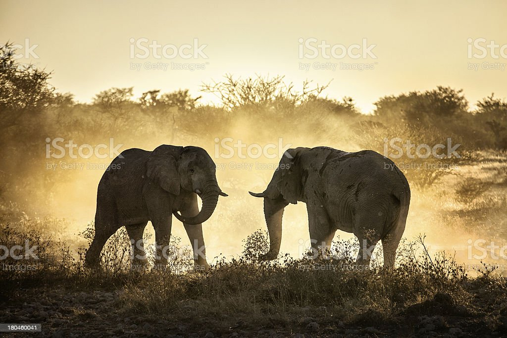 Two elephants having a battle with grass in background stock photo