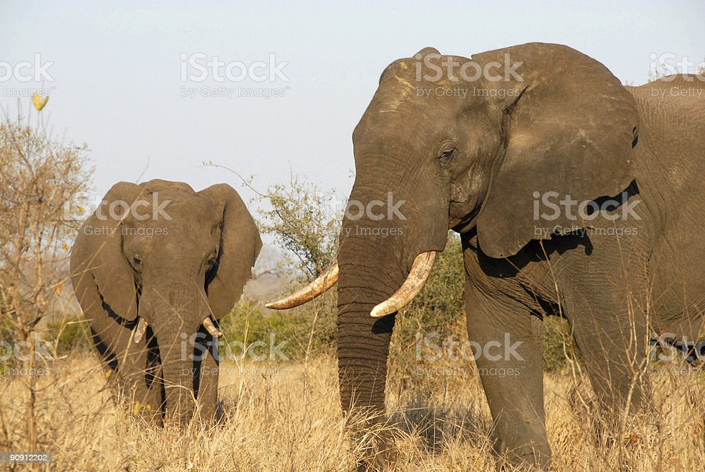 Two Elephants in the Bush stock photo