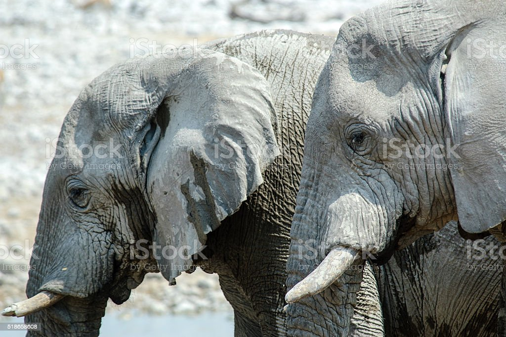 Two Elephants stock photo