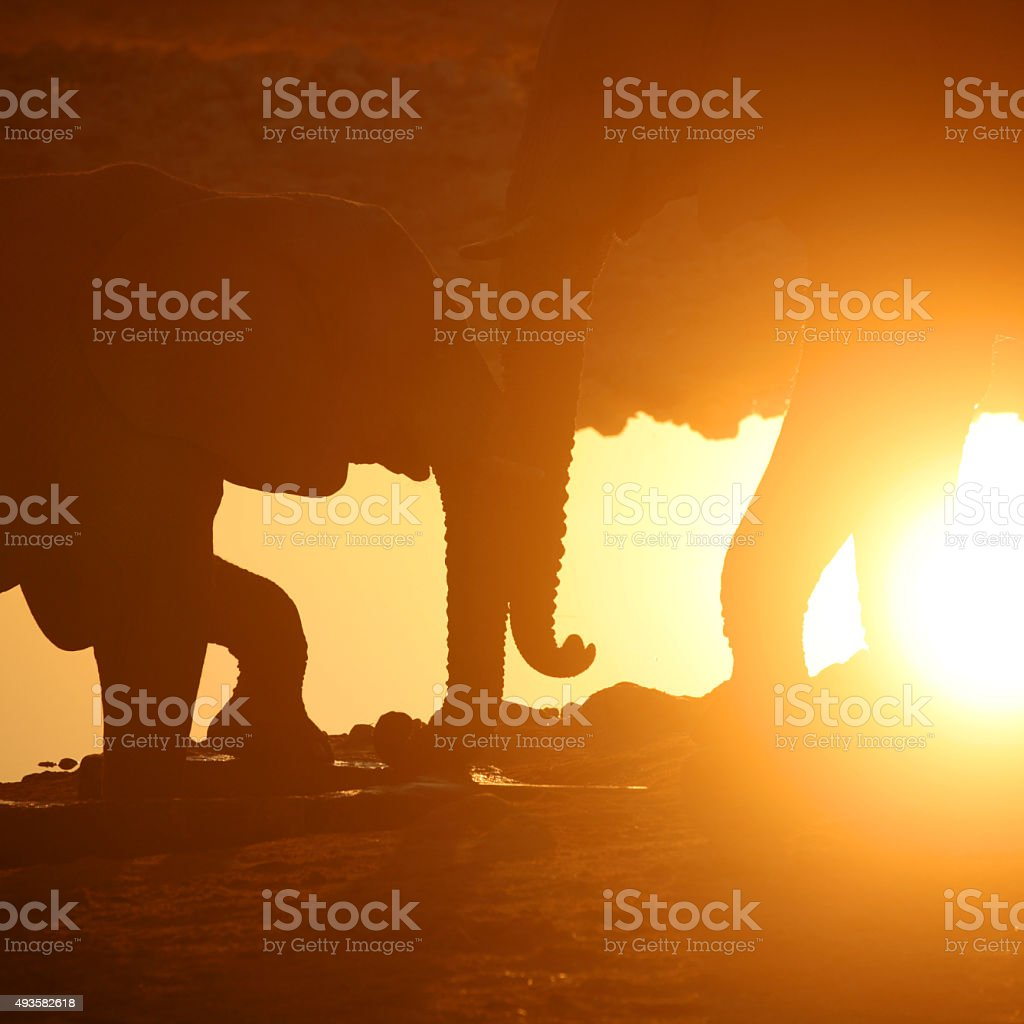 Two Elephants Touching Trunks at Sunset in Africa stock photo