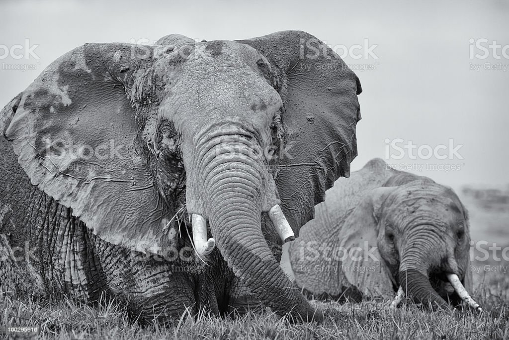 Two elephants wading in swamp, Kenya, East Africa royalty-free stock photo