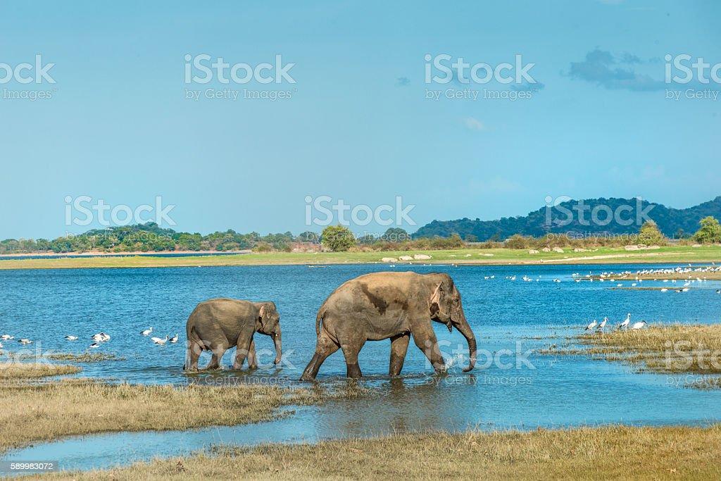 Two elephants walking in a lake, Sri Lanka stock photo
