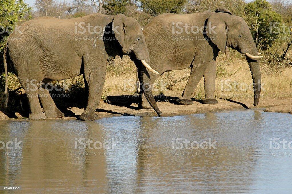 Two Elephants Walking royalty-free stock photo
