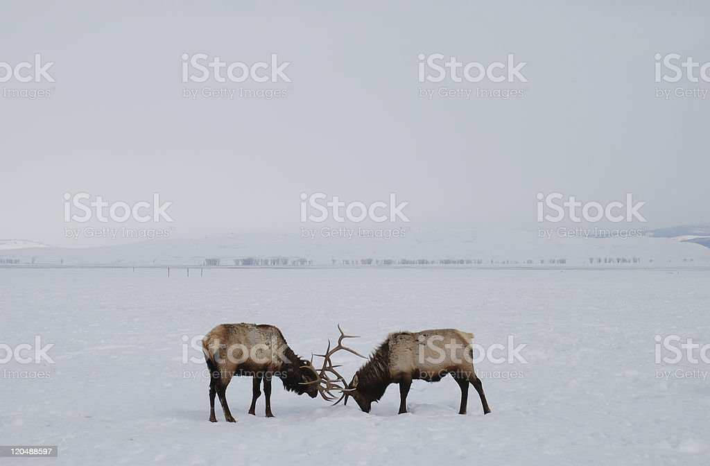 Two Elk Fighting royalty-free stock photo