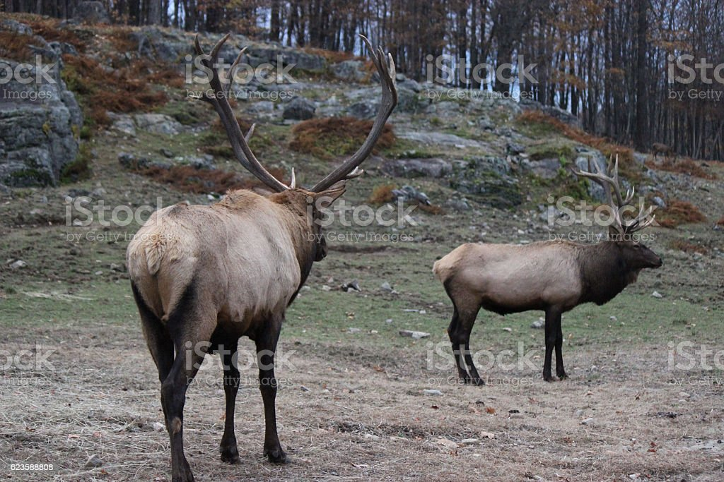 Two Elk with Antlers Infront of Rock Formation stock photo