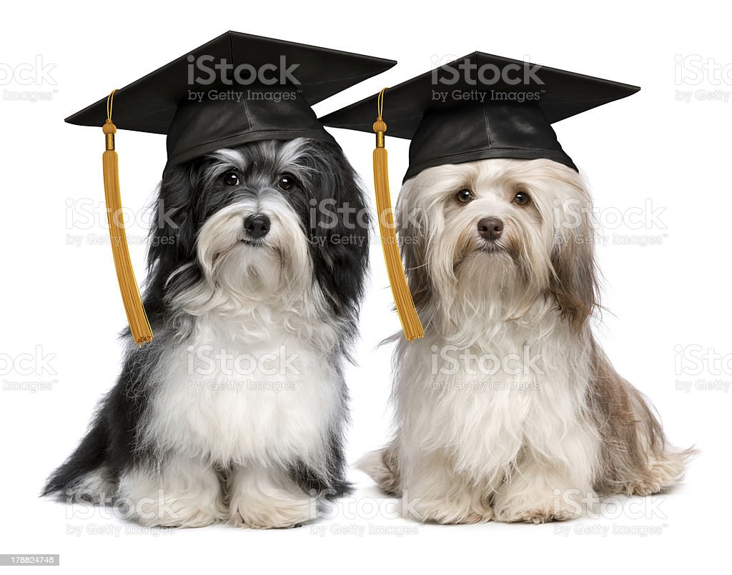 Two eminent graduation havanese dogs wit cap royalty-free stock photo