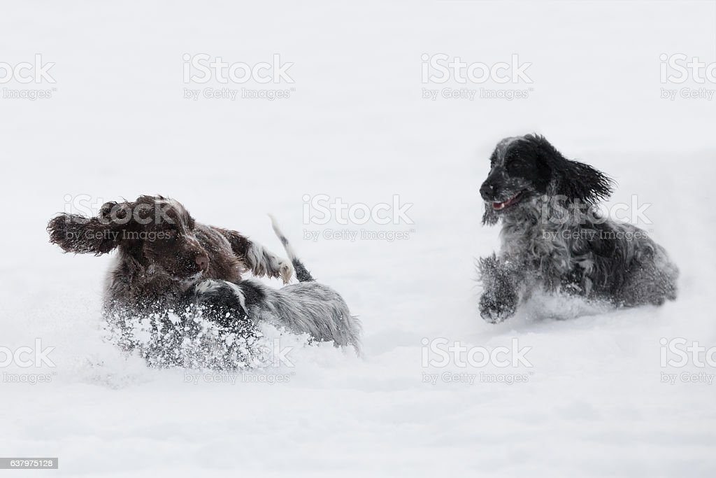 two english cocker spaniel dog playing in snow winter stock photo