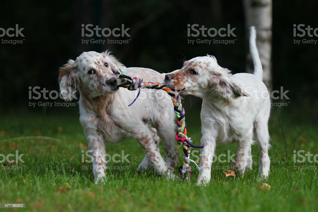 Two English Setter puppies. stock photo