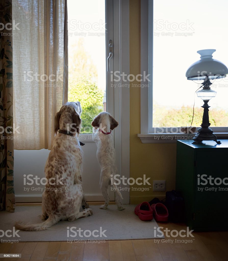 Two English Setters  begging to go outside, Norway stock photo