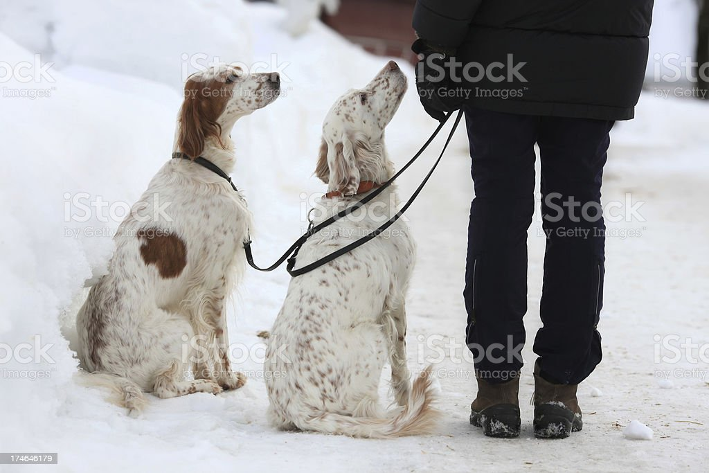 Two English Setters looking at the owner, Norway royalty-free stock photo