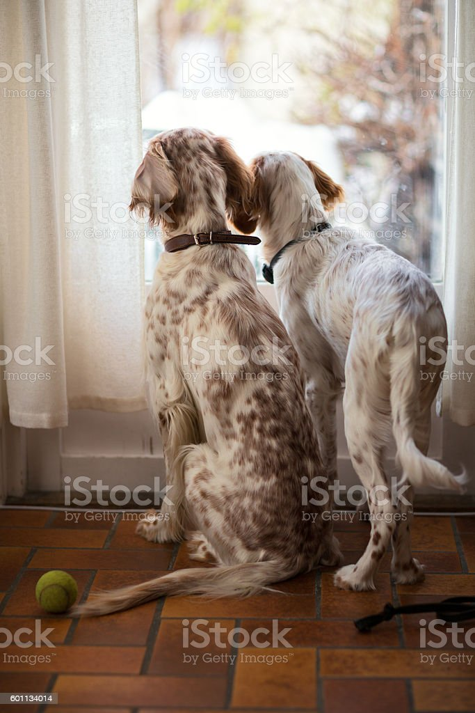 Two English Setters  looking out of a window, Norway stock photo