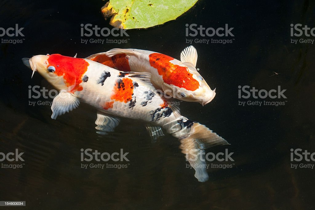 Two entwined koi fish in a dark pond stock photo