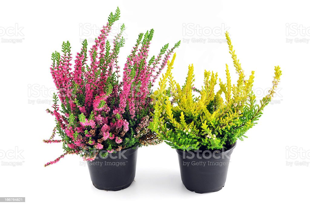 two erica heather in flower pots stock photo