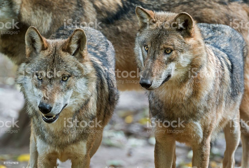 Two Eurasian wolves (Canis lupus lup.) stock photo