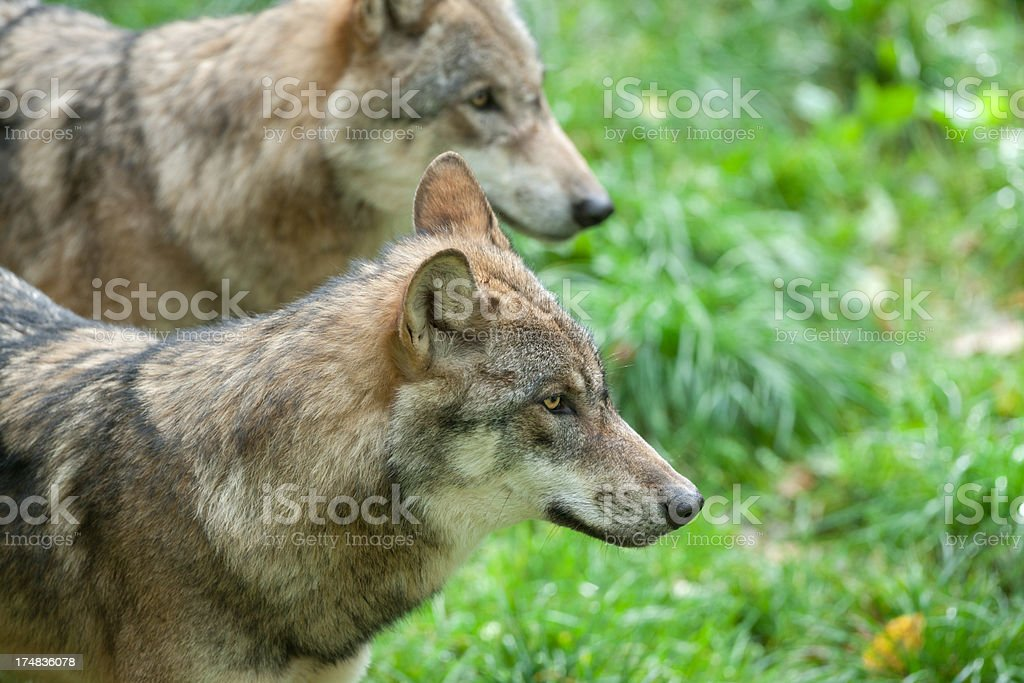 Two Eurasians wolves (Canis lupus lup.) stock photo