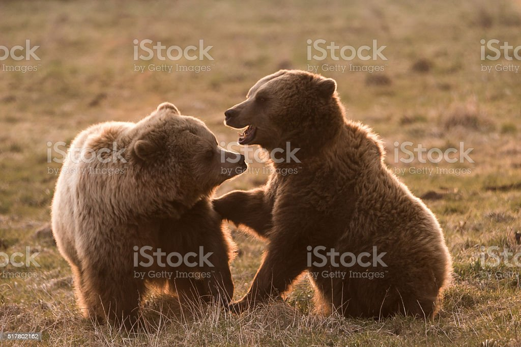 Two european Bears fight together stock photo