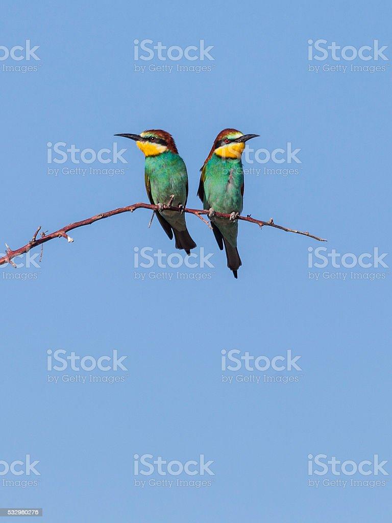Two European Bee-eaters (Merops apiaster) on twig, Etosha_N.P., Namibia, Africa stock photo