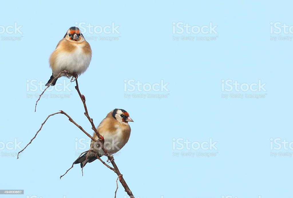 Two European Goldfinches (Carduelis carduelis) stock photo