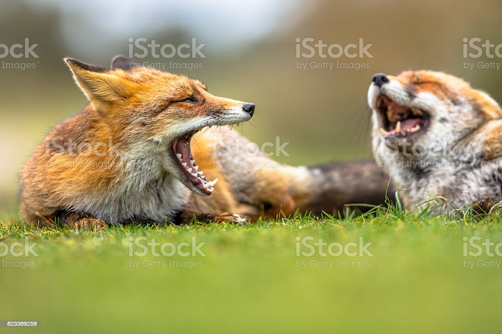 Two European red foxes growling stock photo