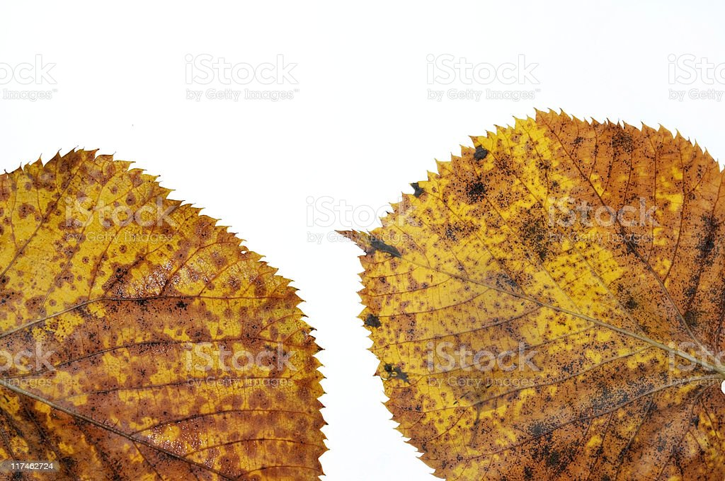 Two fall leaves stock photo