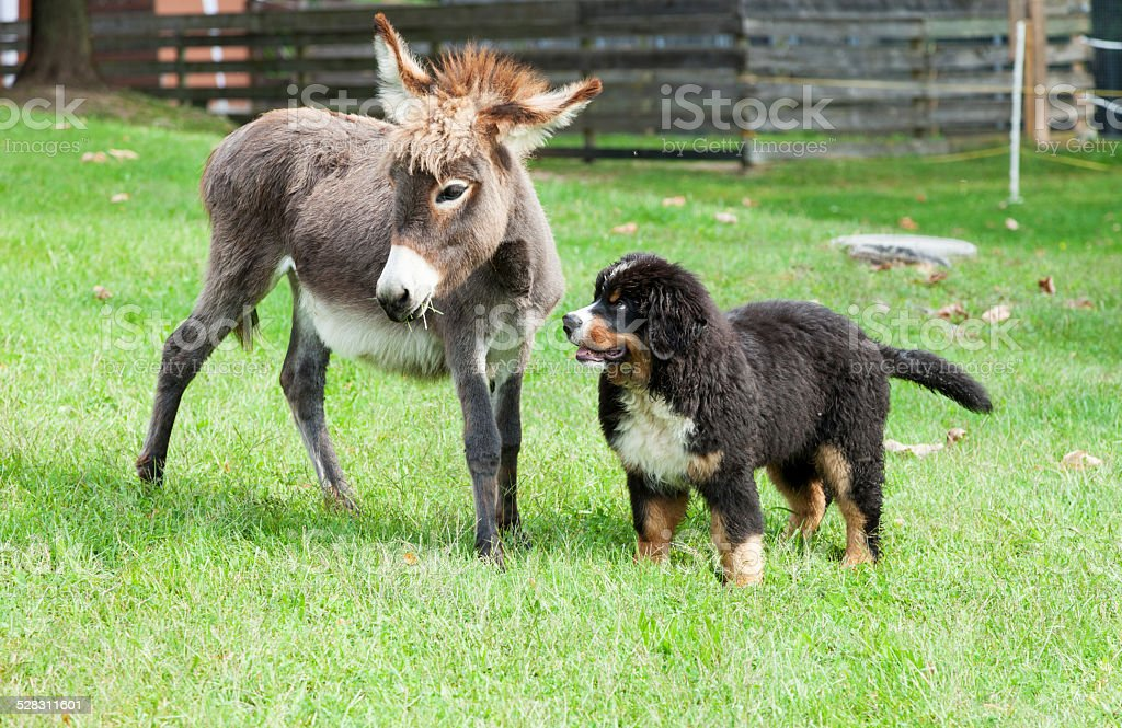 two farm animals stock photo