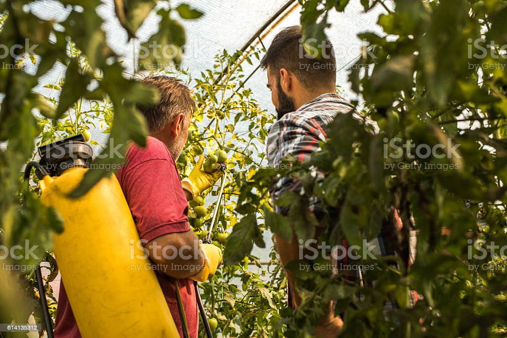 Two farm workers working with plants in a greenhouse. stock photo
