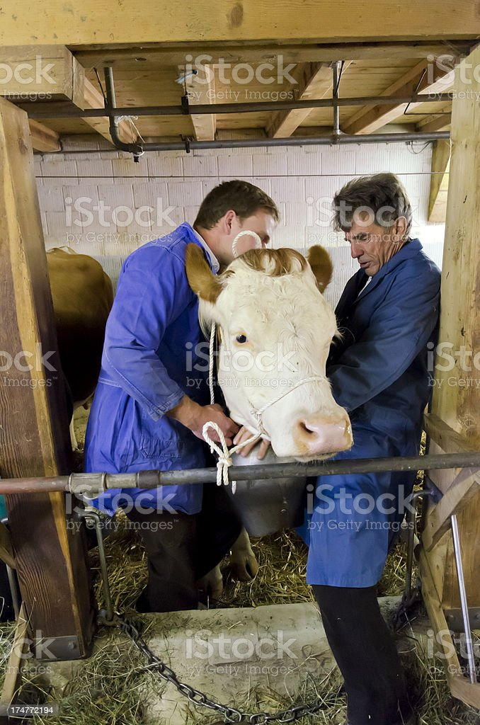 Two farmers are holding a cow stock photo