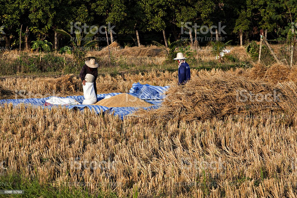 Two farmers harvesting rice in Thailand stock photo