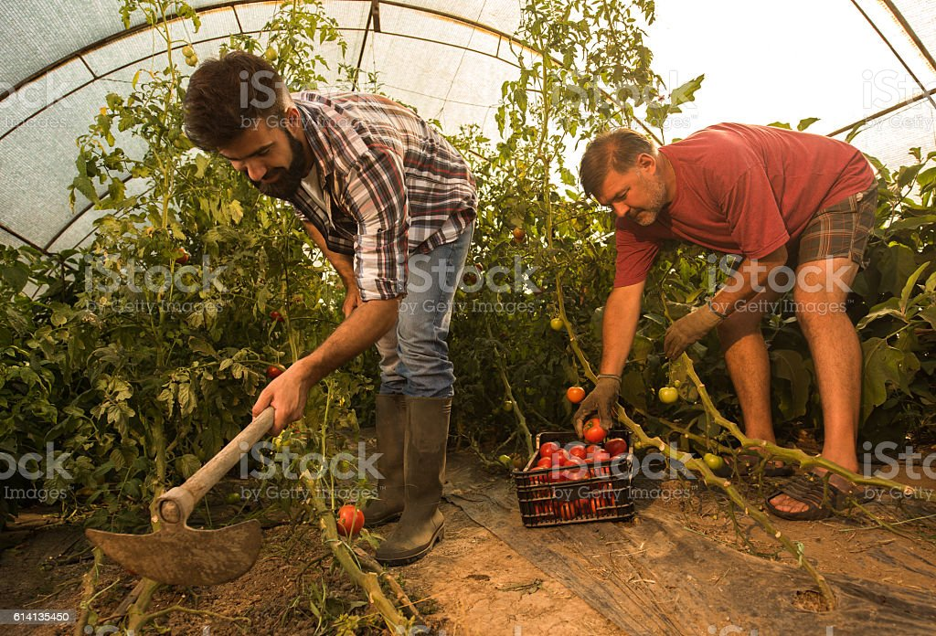 Two farmers working together in polyethylene tunnel. stock photo