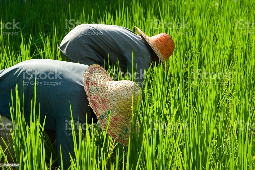 Two Farms in Rice Paddy royalty-free stock photo