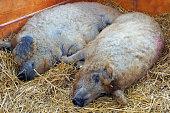 Two fat mangalica pigs